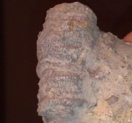 Dokophyllum turbinatum(Coral)